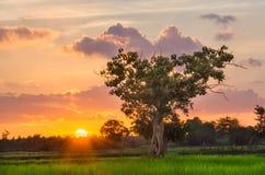 Гигантское дерево и Солнце Стоковые Изображения RF