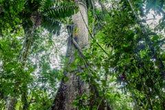 Гигантское дерево капка, Ceiba Pentandra стоковая фотография rf