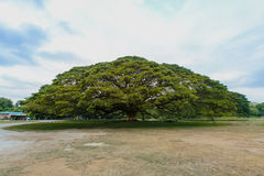 Гигантское дерево мимозы на Kanchanaburi, Таиланде Стоковые Фото