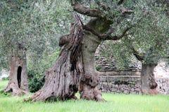 гигантское оливковое дерево Стоковое Изображение RF