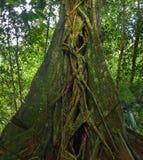Гигантское тропическое дерево Стоковая Фотография RF
