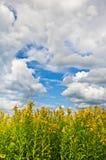 Гигантское goldenrod поле с облаками в небе Стоковые Изображения