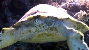 Гигантское imbricata Eretmochelys морской черепахи Hawksbill гада в Красном Море сток-видео