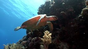 Гигантское imbricata Eretmochelys морской черепахи Hawksbill гада подводное в коралле сток-видео