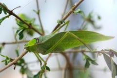 гигантское katydid Стоковые Фото