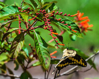 гигантское swallowtail Стоковые Фотографии RF
