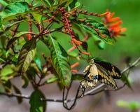 гигантское swallowtail Стоковые Изображения RF