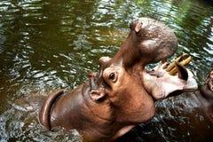 Гигант бегемота (гиппопотама) раскрыл свой рот на воде в зоопарке chiangmai, Таиланд Стоковая Фотография RF