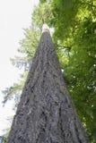 гигант ели douglas Стоковая Фотография RF