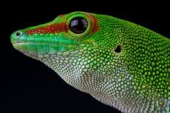 гигант Мадагаскар daygecko Стоковое Изображение RF