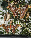 2 гигант Buterflies Стоковые Изображения