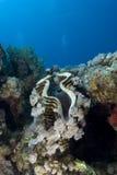 гигант clam стоковые фотографии rf