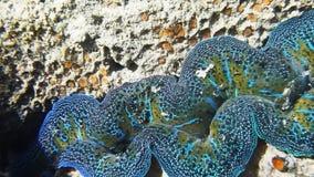гигант clam сток-видео