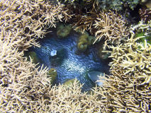 гигант clam Стоковая Фотография RF