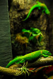 гигант gecko дня Стоковое Изображение RF