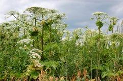 Hogweed гигант Стоковые Фото