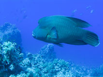 гигант napoleon рыб стоковая фотография rf