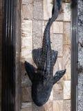 Гигант Pleco стоковая фотография rf