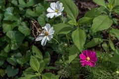 Гигант Swallowtail и цветки стоковые фотографии rf