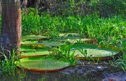 гигант victoria amazonica amazonia Стоковые Фото