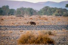 Гиена Брайна идя в пустыню стоковая фотография rf
