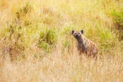 Гиена в траве на национальном заповеднике Maasai Mara Стоковые Фото