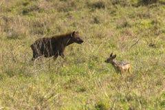 Гиена и Jackal в кратере Ngorongoro стоковое изображение rf