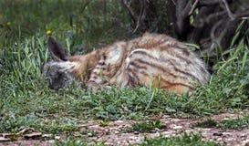 Гиена спать Стоковая Фотография