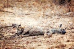 2 гиена Cubs лежа совместно Стоковые Изображения RF