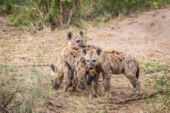 3 гиены запятнанных детенышами в Kruger Стоковая Фотография