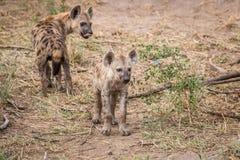 2 гиены запятнанных детенышами в Kruger Стоковые Фото