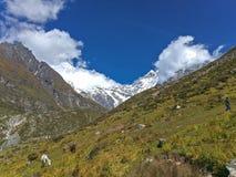 Гималайские яки и лошади пася траву стоковое изображение