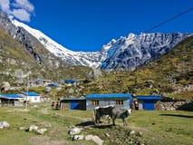 Гималайские яки стоковые фото