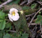 Гималайский может Яблоко, hexandrum Podophyllum, индийский podophyllum Стоковые Изображения RF