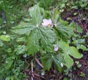 Гималайский может Яблоко, hexandrum Podophyllum, индийский podophyllum Стоковые Фото