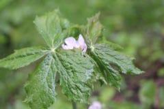Гималайский может Яблоко, hexandrum Podophyllum, индийский podophyllum Стоковое Изображение RF