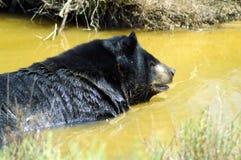 Гималайский черный медведь в воде стоковая фотография rf
