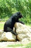 Гималайский черный медведь сидит на каменных таблице или столе стоковая фотография