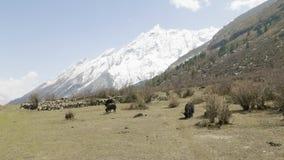 Гималайский як ест траву среди гор Непала Трек цепи Manaslu сток-видео