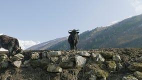 Гималайский як ест траву среди гор Непала Трек цепи Manaslu видеоматериал