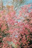 Гималайская вишня Стоковое Фото
