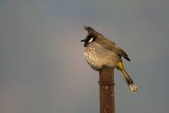 Гималайская крона: Гималайский bulbul Стоковые Фотографии RF