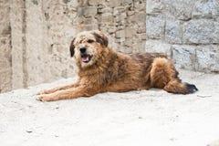Гималайская собака табунить ослабляя на улице города Leh Стоковая Фотография RF