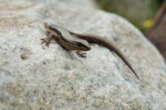 Гималайская ящерица Стоковая Фотография RF