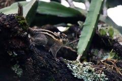Гималайская striped белка на ветви Стоковая Фотография