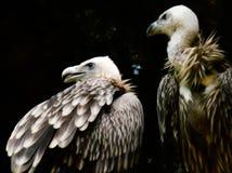 Гималайские хищники стоковое изображение