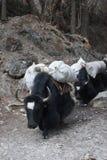 Гималайские яки Стоковое Изображение