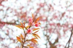 Гималайский вишневый цвет на северном Таиланде Стоковые Фото