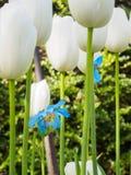 Гималайский голубой мак среди белых тюльпанов Стоковые Фото
