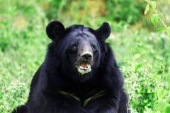 Гималайский медведь Стоковые Фото